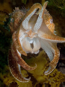 Sepia apama, Kurnell by Doug Anderson 